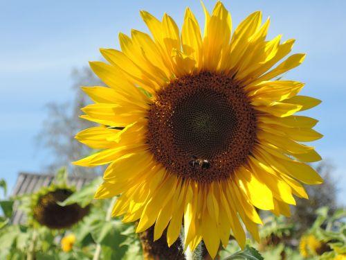flower sunflower yellow