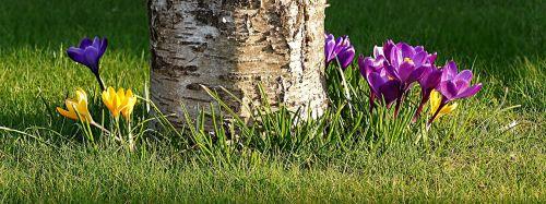 flower crocus early bloomer