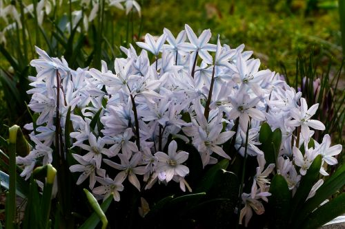 flower early bloomer scilla