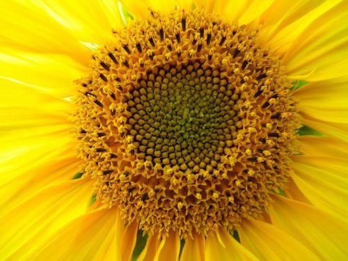 flower flowers sunflower