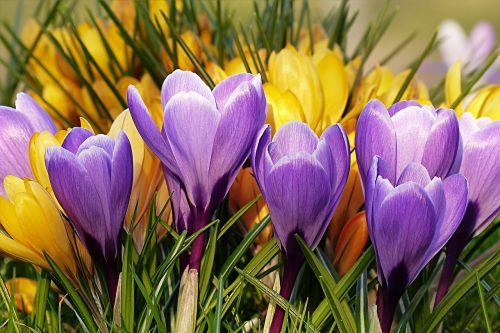 flower crocus violet