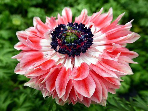 flower anemone pink