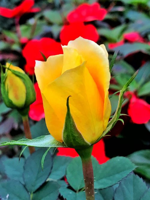 flower rose yellow