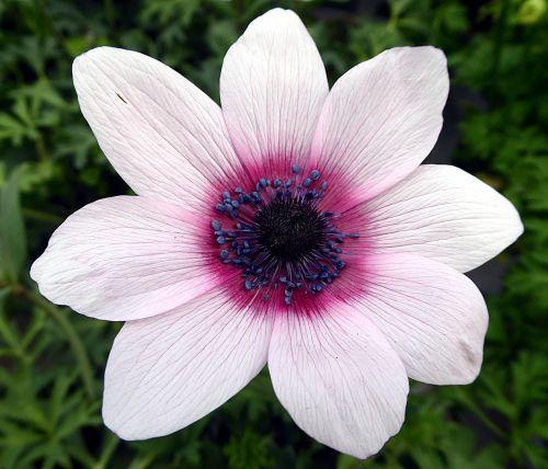 flower anemone ranunculaceae