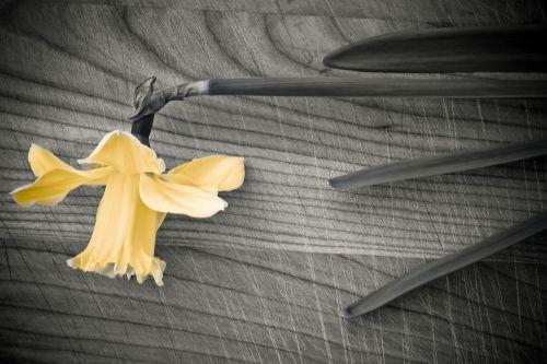 flower spring daffodil