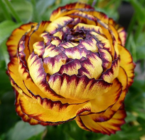 flower buttercup ranunculaceae