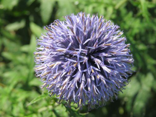 flower chives purple
