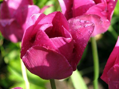 flower tulip raindrop