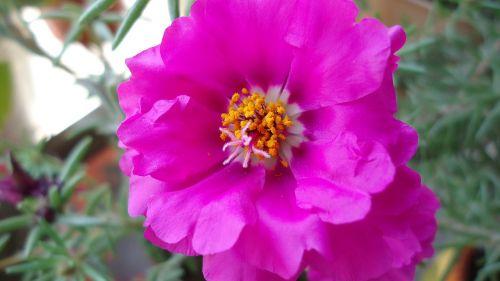 flower rosa flowers