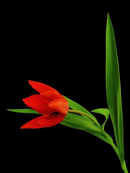 gėlė,augalas,gamta,tulpė,žiedas,žydėti,žydėti,pavasaris,raudona