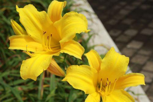 gėlė,augalas,geltona gėlė,gamta,gėlės,sodas,mygtukas,trapi