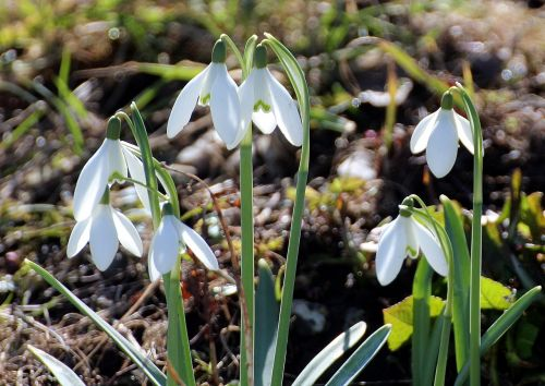 flower snowdrop galanthus