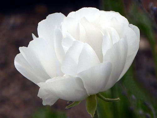 flower anemone white