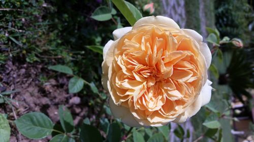 flower rosa beauty