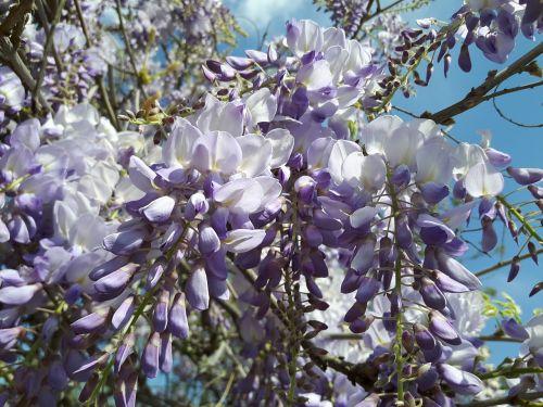 flower azalea lilac