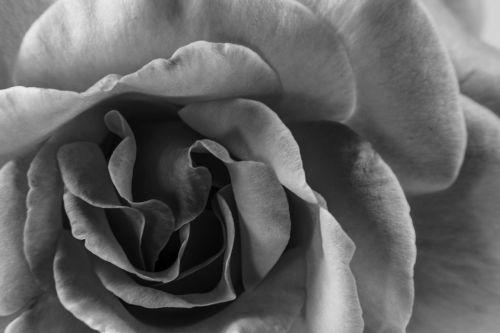 flower flowers black