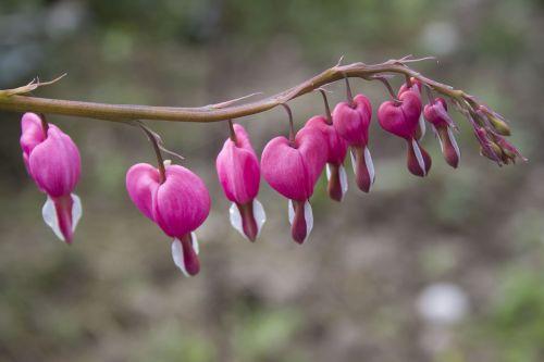flower heart bleeding heart