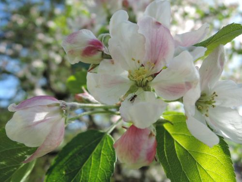 flower apple tree apple