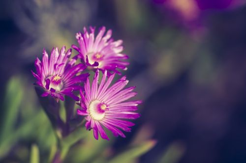 flower,close,blossom,bloom,macro,spring,summer,colorful,purple,bloom,flourished,nature,plant,blossomed,nature recording