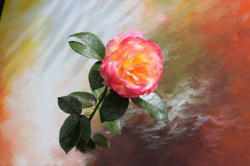 gėlė,rožė,natiurmortas,rožinė rožė,rožinis,žiedas,žydėti,gamta,Raudona roze,spalva,sodo rožė,rožė,romantiškas,kilnus,raudona,dekoratyvinis,gražus,augalas,grožis,Uždaryti,kilnus rožė,malmotiv,vasara,žydėti,aromatingas,apdaila,floribunda,atsargus,žinoma