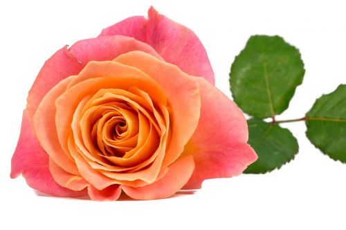 flower rose orange