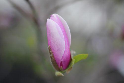 gėlė,gamta,rožinis