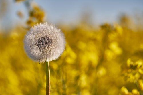 gėlė,balta,geltona dėžutė,balta gėlė,pavasaris,vabzdys,Uždaryti,šviesus,graži gėlė,sodas,vasara,laukinė gėlė,aliejiniai rapsai,žemės ūkio kultūra