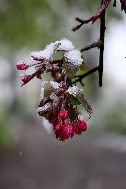 gėlė,sniegas,sušaldyta,raudona,Kovas