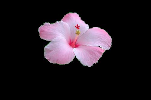 flower pink flower pink