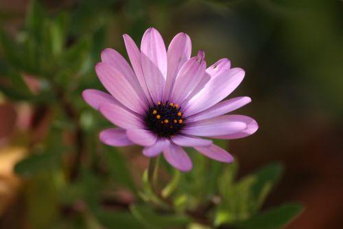 flower gerbera rosa
