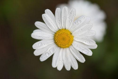 gėlė,lašelinė,lietus,makro