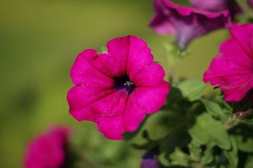 flower surfinia violet
