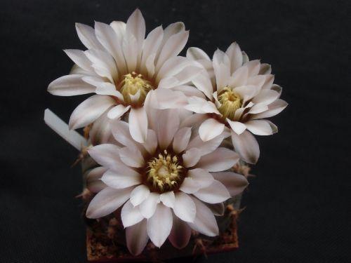 gėlė,kaktusas,flora,augalas,gamta,šerti,Pietų Amerika