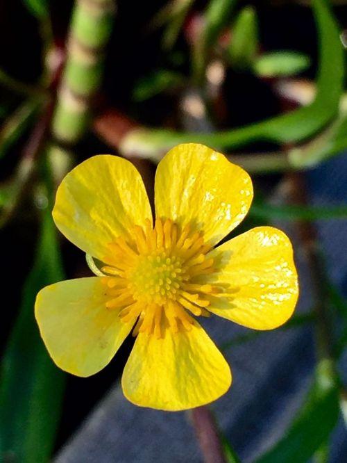 flower caltha palustris yellow