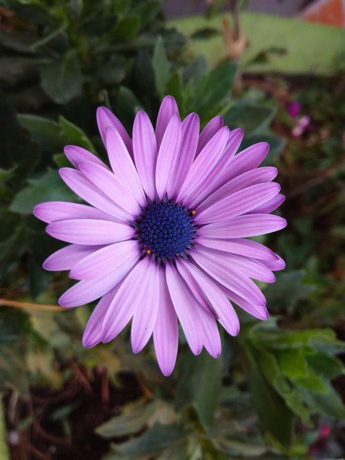 flower fuchsia guatemala