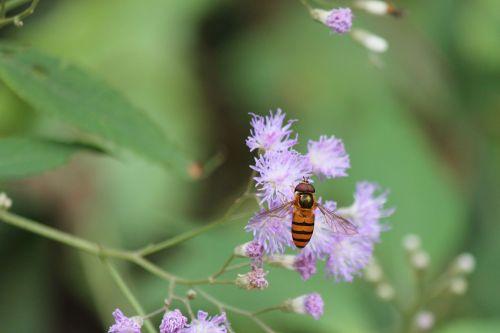 flower wildflower hoverfly