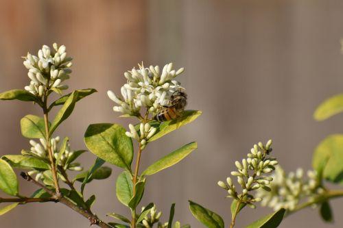flower honeybee bee