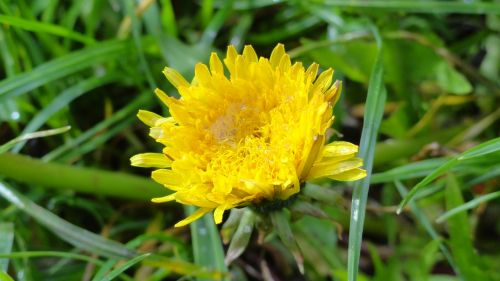 flower taraxacum officinale lactarius