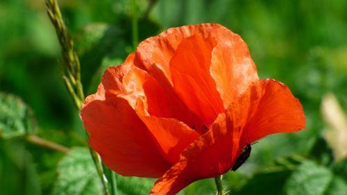 flower wonders poppy