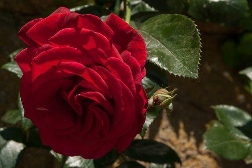 flower pink red