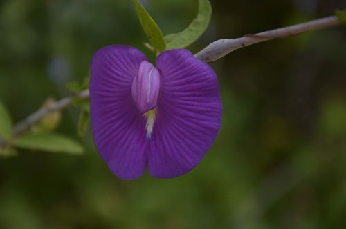 flower violet rarity