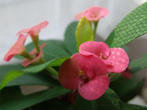 gėlė,mažas,taškeliai