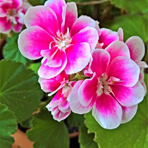 flower geranium scented geranium