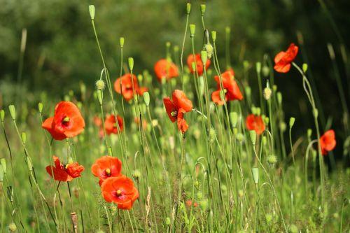 flower poppy klatschmohn