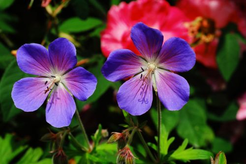 flower flowers cranesbill