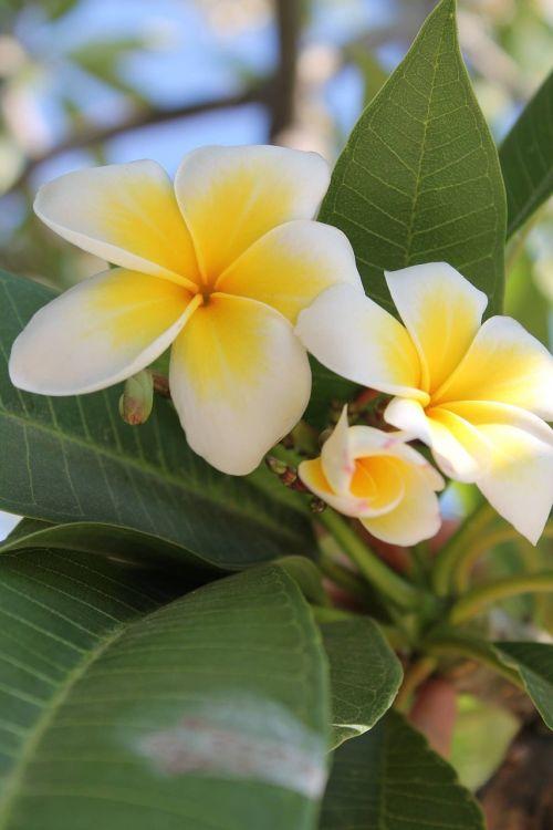 flower mediteran yellow