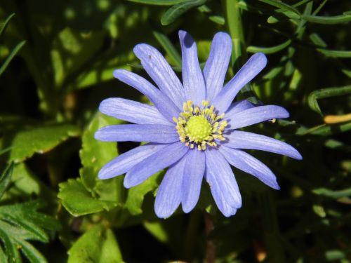 flower blue macro