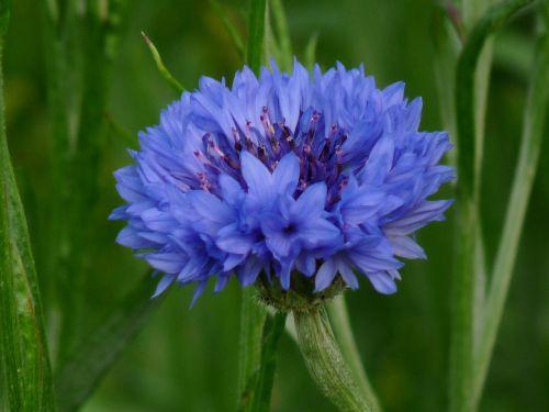 flower,green,blue,cornflower