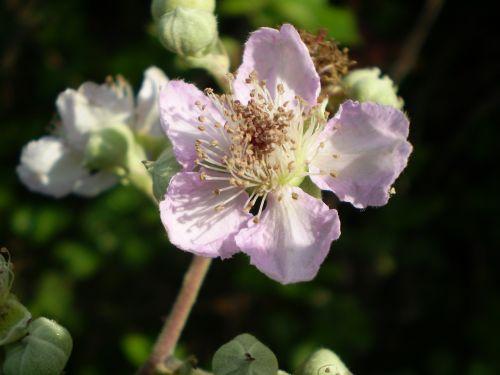 flower rosa zarza