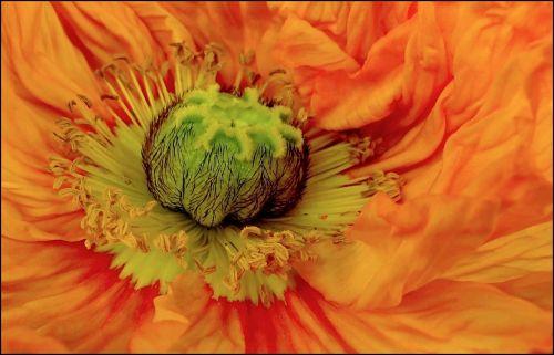 žiedas,žydėti,makro,sodas,gėlės,augalas,gėlė,gamta,aguona,gražus,spalva,spalvinga,flora,žiedadulkės,bičių žiedadulkės,šviesus,aguonos gėlė,Uždaryti,oranžinė,geltona,gėlių makro,žydėti,vasara